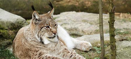 Luchs im Tierfreigehege des Nationalpark Bayerischer Wald